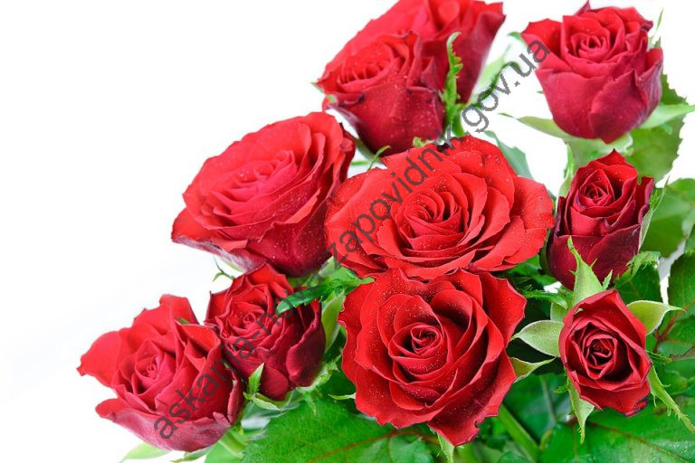 a-bouquet-of-roses-on-a-white-background-2349207_960_720-1