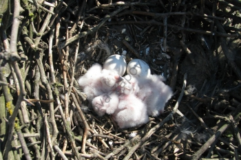 Совине гніздо