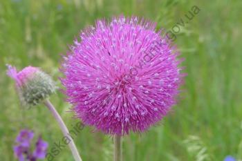 Квітка будяка